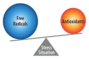 During oxidative stress free radicals are neutralised by antioxidants. C60 is the best antioxidant known to mankind